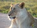 Löwe im Addo Elephant Park, Südafrika