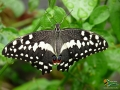 Schmetterling in Paarl, Südafrika