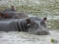 Flusspferde in St. Lucia, Südafrika
